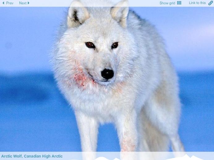 lobo-artico