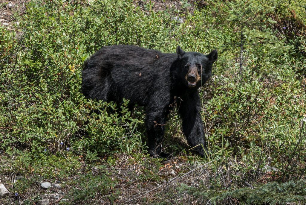 Black.bear.Banff