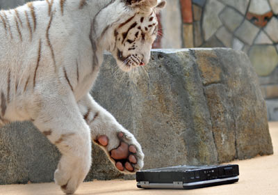 Un tigre pone a prueba el Toughbook