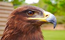 Un águila real